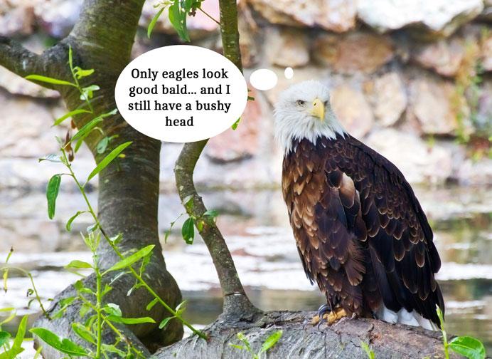 balding-eagle